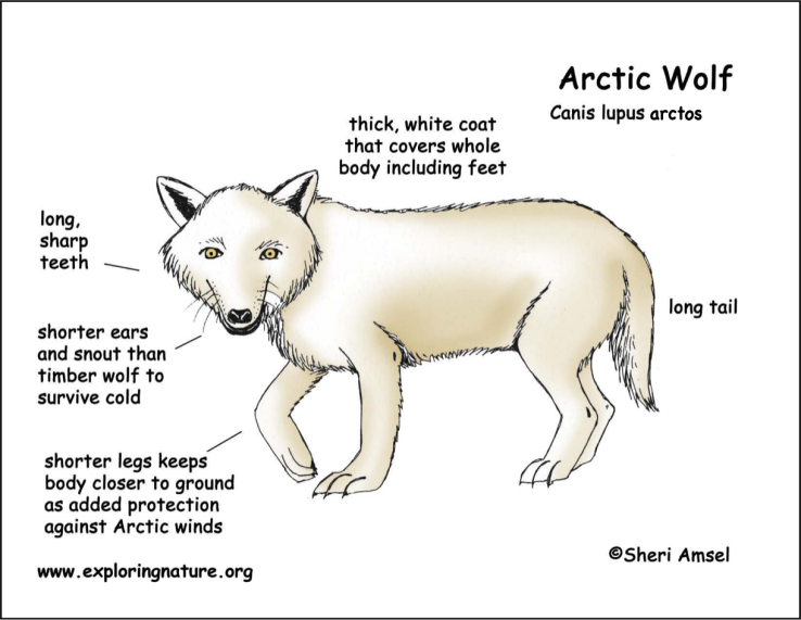 Arctic Wolf | Body